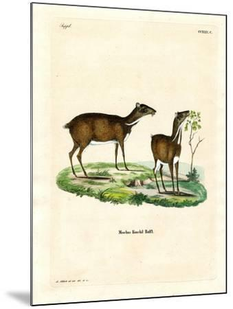 Lesser Mouse Deer--Mounted Giclee Print