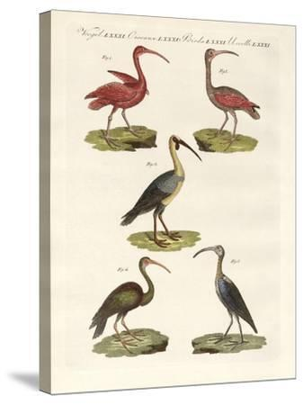 Kinds of Ibis--Stretched Canvas Print