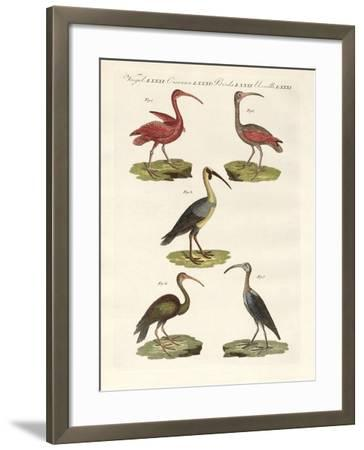 Kinds of Ibis--Framed Giclee Print