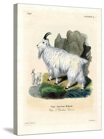 Rocky Mountain Goat--Stretched Canvas Print