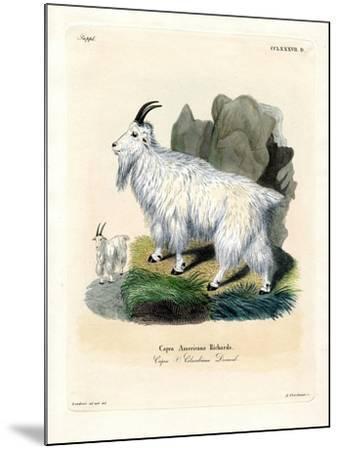 Rocky Mountain Goat--Mounted Giclee Print