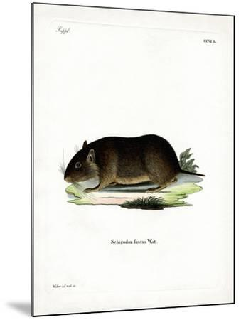 Chilean Rock Rat--Mounted Giclee Print