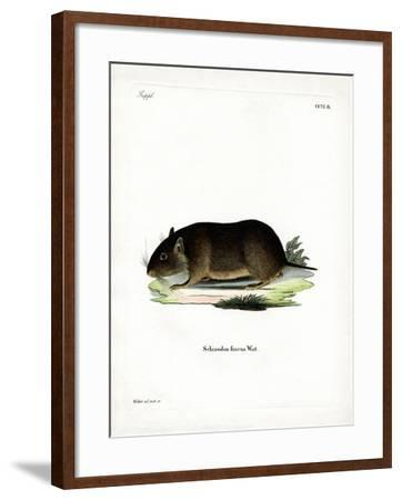 Chilean Rock Rat--Framed Giclee Print