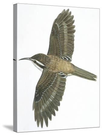 Birds: Passeriformes, Common Treecreeper (Certhia Familiaris)--Stretched Canvas Print