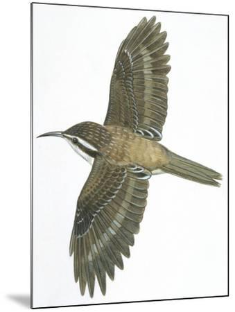 Birds: Passeriformes, Common Treecreeper (Certhia Familiaris)--Mounted Giclee Print