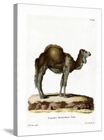 Dromedary--Stretched Canvas Print
