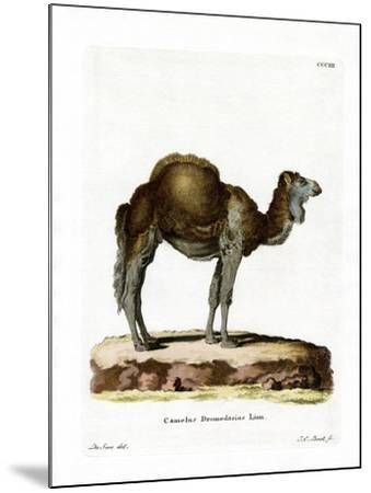 Dromedary--Mounted Giclee Print
