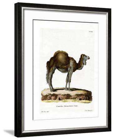Dromedary--Framed Giclee Print