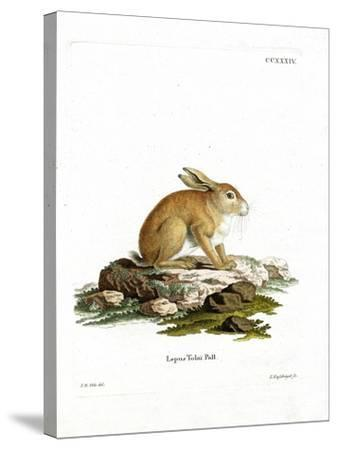 Tolai Hare--Stretched Canvas Print