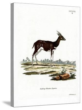 Bushbuck--Stretched Canvas Print