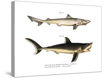 Tope Shark--Stretched Canvas Print
