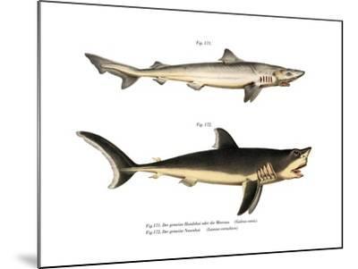 Tope Shark--Mounted Giclee Print
