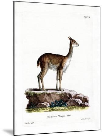 Vicugna--Mounted Giclee Print