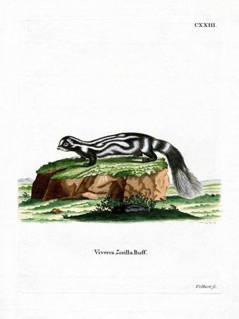Zorilla--Giclee Print