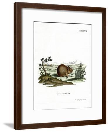 Steppe Pika--Framed Giclee Print