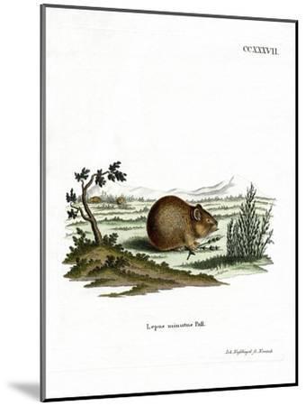Steppe Pika--Mounted Giclee Print