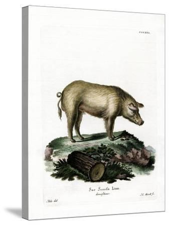 Domestic Pig--Stretched Canvas Print