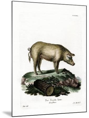 Domestic Pig--Mounted Giclee Print