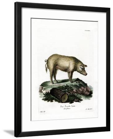 Domestic Pig--Framed Giclee Print