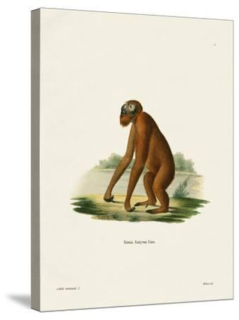 Orang-Outang--Stretched Canvas Print
