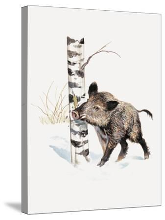 Close-Up of a Wild Boar Rubbing His Neck on a Tree Trunk (Sus Scrofa)--Stretched Canvas Print