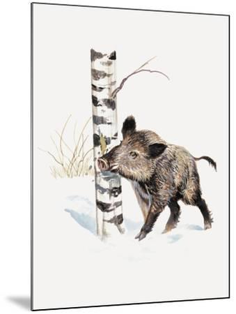 Close-Up of a Wild Boar Rubbing His Neck on a Tree Trunk (Sus Scrofa)--Mounted Giclee Print