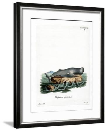 Sperm Whale--Framed Giclee Print