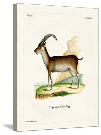 Walia Ibex--Stretched Canvas Print