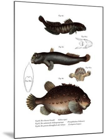 Black Goby--Mounted Giclee Print