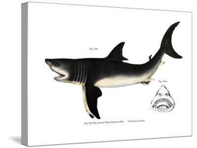 White Shark--Stretched Canvas Print