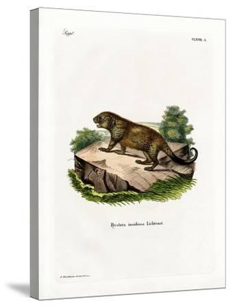 Porcupine--Stretched Canvas Print