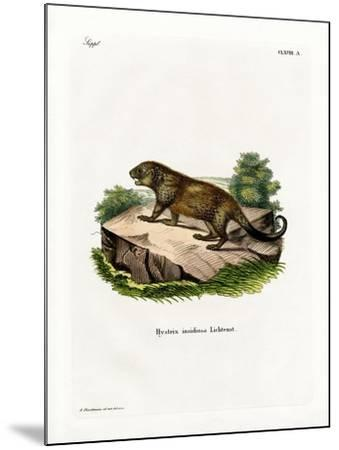 Porcupine--Mounted Giclee Print