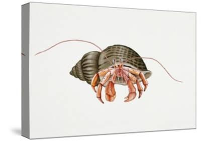 Hermit Crab (Pagurus Bernhardus), Paguridae. Artwork by Rebecca Hardy--Stretched Canvas Print