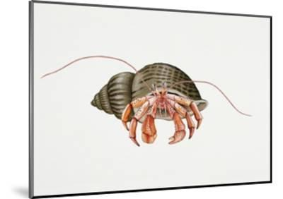 Hermit Crab (Pagurus Bernhardus), Paguridae. Artwork by Rebecca Hardy--Mounted Giclee Print