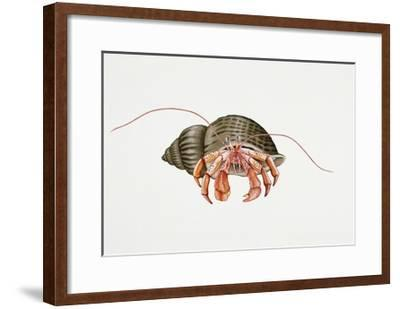 Hermit Crab (Pagurus Bernhardus), Paguridae. Artwork by Rebecca Hardy--Framed Giclee Print