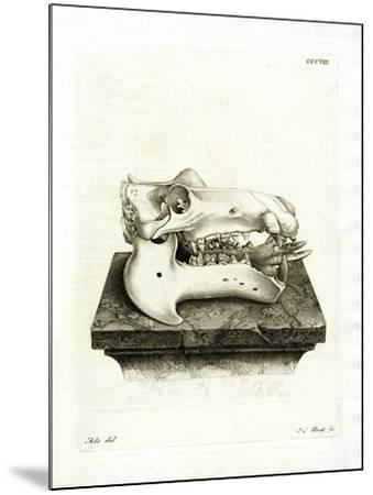 Hippo Skull--Mounted Giclee Print