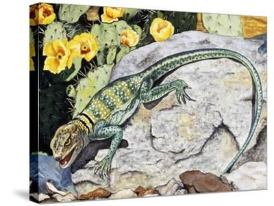 Eeastern Collared Lizard (Crotaphytus Collaris), Crotaphytidae--Stretched Canvas Print