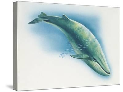 Close-Up of a Blue Whale Swimming Underwater (Balaenoptera Musculus)--Stretched Canvas Print