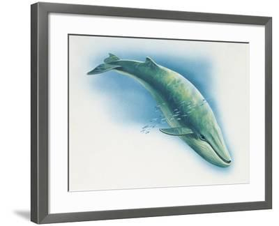 Close-Up of a Blue Whale Swimming Underwater (Balaenoptera Musculus)--Framed Giclee Print