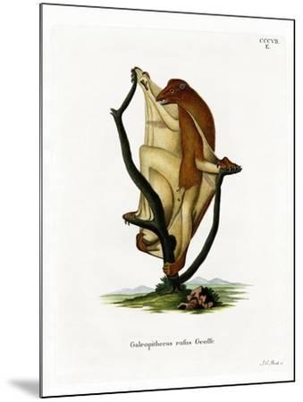 Flying Lemur--Mounted Giclee Print