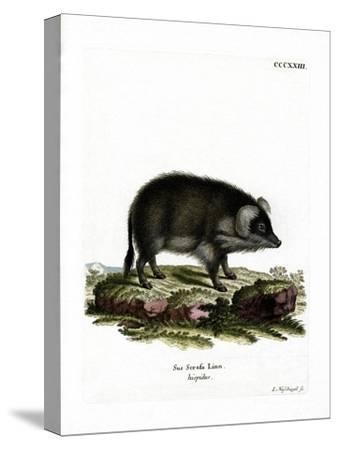 Wild Boar--Stretched Canvas Print