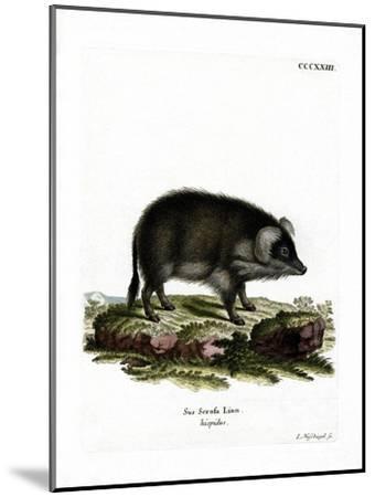 Wild Boar--Mounted Giclee Print