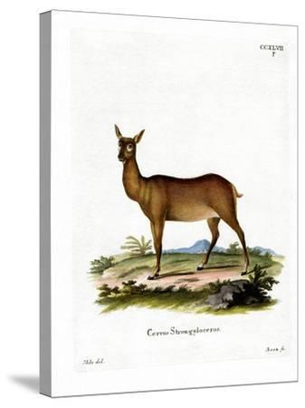 Wapiti--Stretched Canvas Print