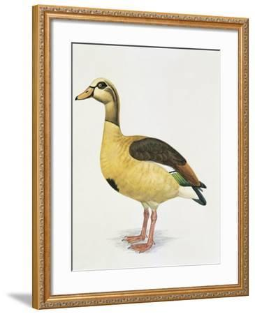 Side Profile of an Egyptian Goose (Alopochen Aegyptiacus)--Framed Giclee Print