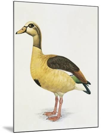 Side Profile of an Egyptian Goose (Alopochen Aegyptiacus)--Mounted Giclee Print