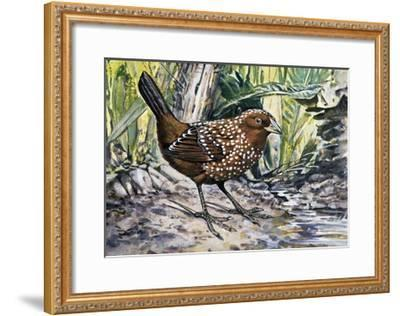 Ocellated Tapaculo (Acropternis Orthonyx), Rhinocryptidae--Framed Giclee Print
