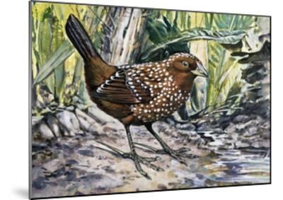 Ocellated Tapaculo (Acropternis Orthonyx), Rhinocryptidae--Mounted Giclee Print