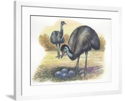 Emu Dromaius Novaehollandiae at Nest with Eggs--Framed Giclee Print