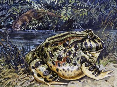 Argentine Horned Frog (Ceratophrys Ornata), Leptodactylidae--Framed Giclee Print