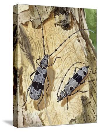 Rosalia Longicorn (Rosalia Alpina), Cerambycidae--Stretched Canvas Print